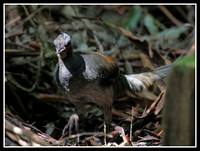 Lyrebird, Washpool world heritage area