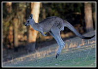 Skippy is seen a lot in the inverell region