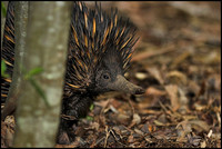 Echidnas and bandicoots