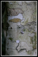 Coachwood tree bark, Washpool world heritage area