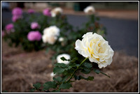 Roses in main street landscape