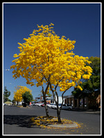 Tabebuia Tree, King St, Grafton